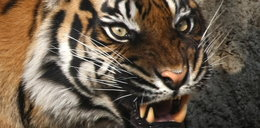 Tygrys!!!