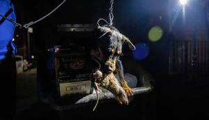 A jagdterrier holds a dead rat in its mouth after hunting it in a dumpster in lower Manhattan on May 14, 2021.