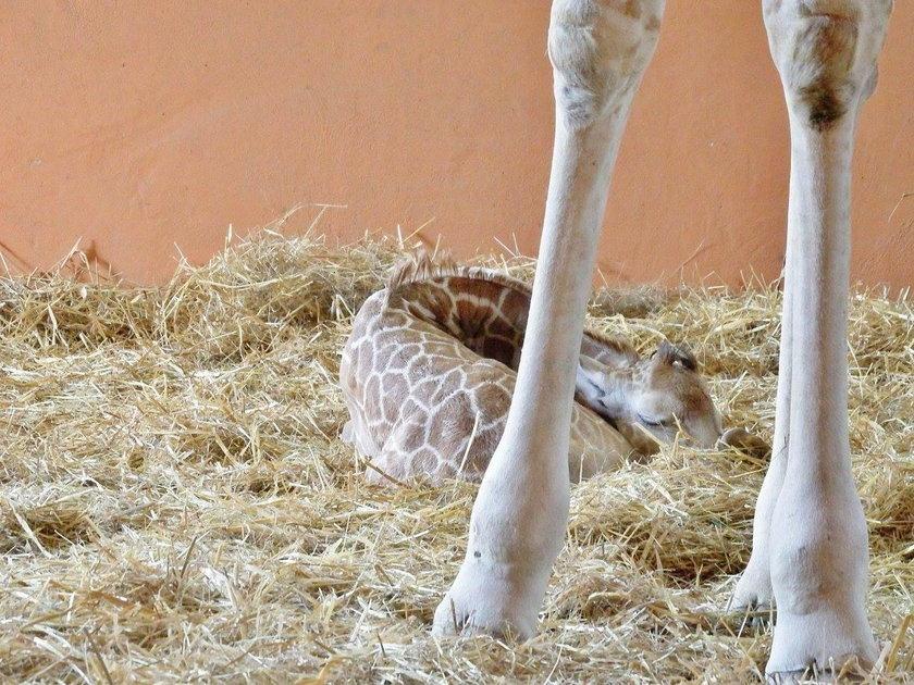 Chorzów. Narodziny żyrafy