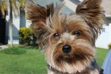 pas, jorkširski terijer