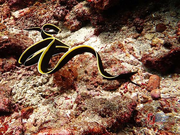 Ribon Il - životinja koja je tokom života bespolna, a onda muškog, pa ženskog pola