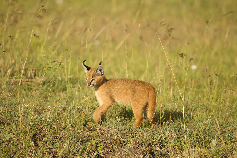 Caracal / Getty Images / Joe McDonald