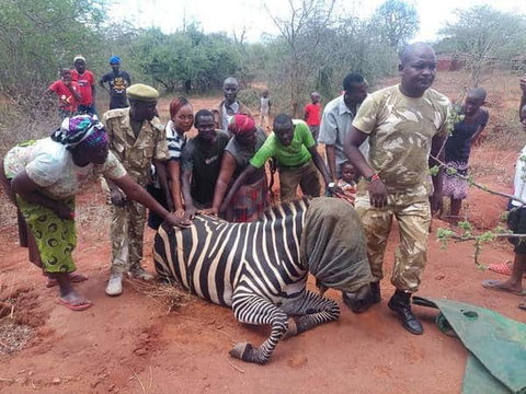 Zebra gives birth to Zonkey after mating with a donkey (photos)