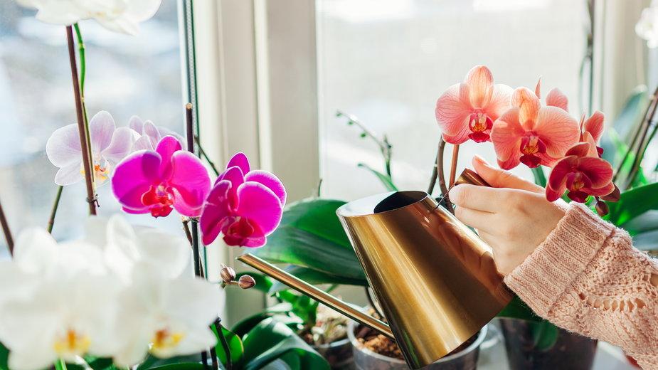 Podlewanie storczyków to jeden z podstawowych zabiegów pielęgnacyjnych - maryviolet/stock.adobe.com