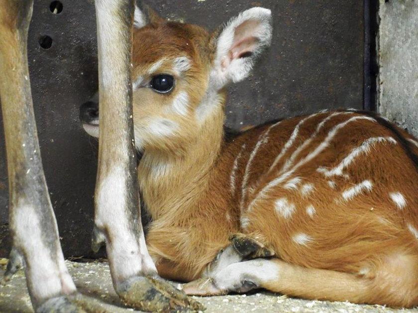 Narodziny sitatungi w śląskim zoo