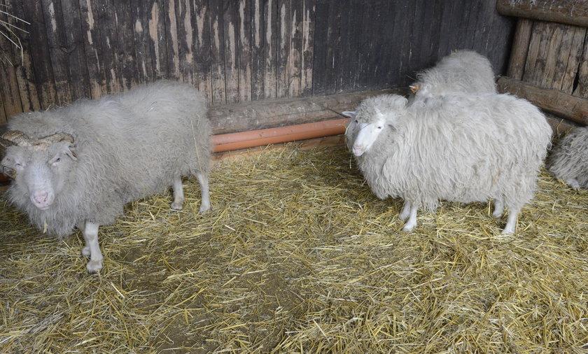 Rolnicy mogą posłuchać owiec