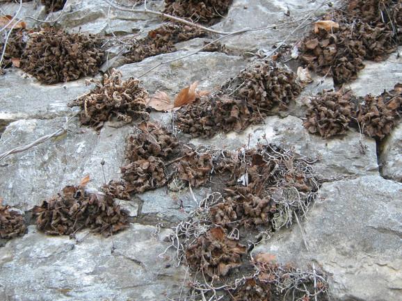 Ramonda nathaliae u anabiozi na potpornom zidu u klisuri Vardara kod Velesa