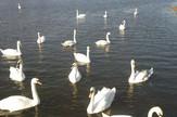 Jato belih labudova uživa jutarnjem suncu