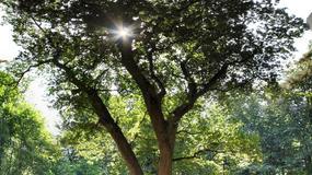 Drzewo-swat. Dzięki niemu ponad 100 osób znalazło miłość
