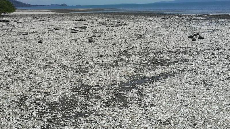 Katastrofa ekologiczna w Kostaryce? Morze wyrzuciło na brzeg tysiące martwych ryb