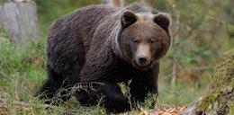 Tragedia w Tatrach. 57-latek zginął po ataku niedźwiedzia