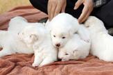 kimovi psi