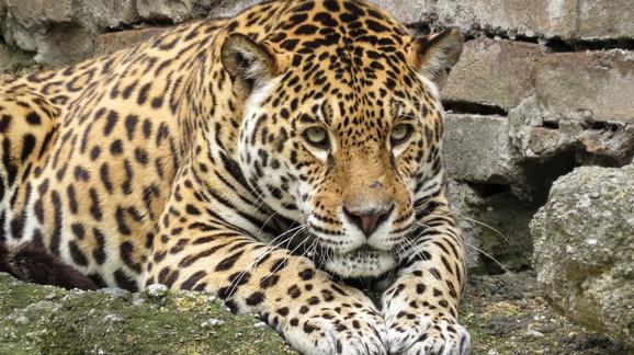 Jaguar se nakon devet godina vratio u Zoo vrt