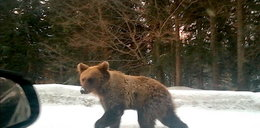Miś włóczykij wrócił do lasu!