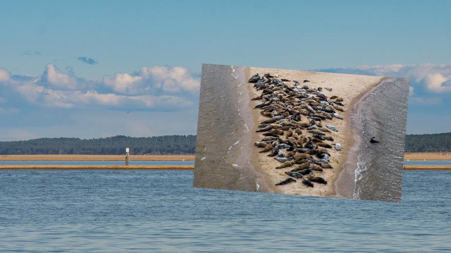 Stado fok wylegiwało się w rezerwacie Mewia Łacha