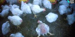 Rolnik o hodowaniu kurczaków: robimy to, co Hitler w Oświęcimiu!