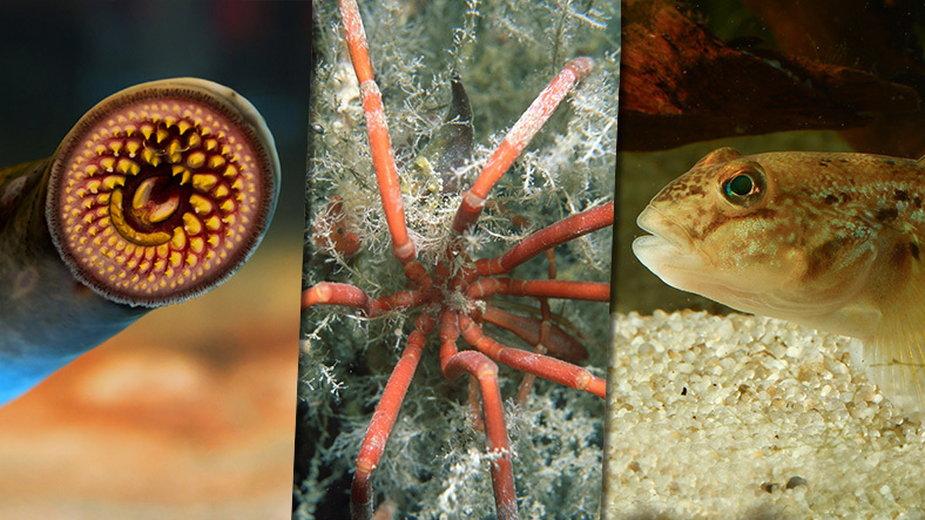 Te niezwykłe stworzenia żyją w Morzu Bałtyckim