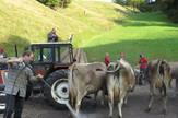 svajcarsakakrave selidba alpi manifestacija kicenje zene narod poljoprivreda priroda (20)