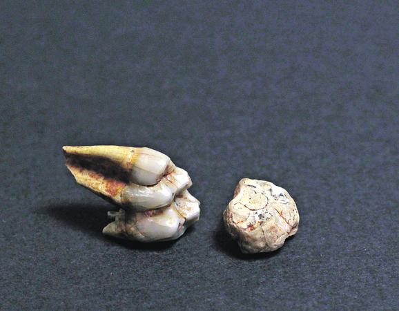 Zub majmuna praistorijske vrste parodolichopithecus nađen u okolini Šapca