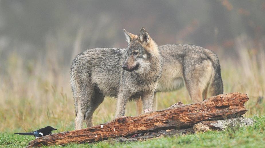 Myśliwi domagają się odstrzałów wilków.