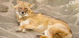 Nowe, niebezpieczne zwierzęta w Polsce! Uważajcie na nie