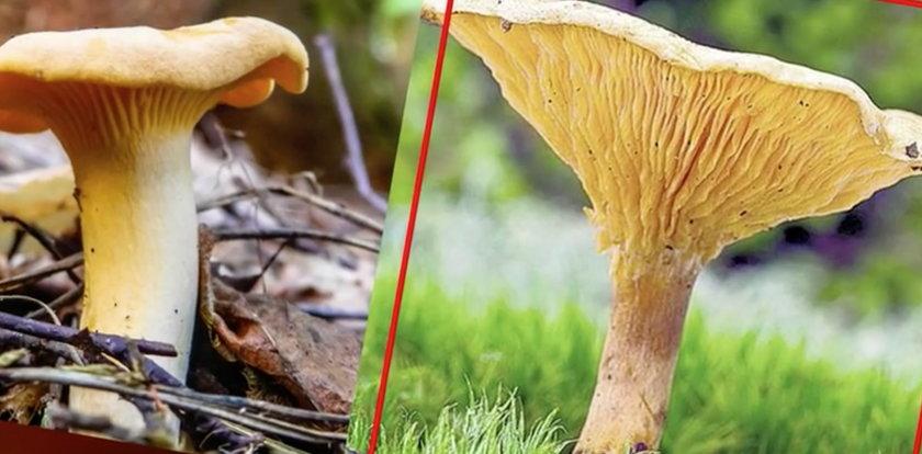 Uważaj! Te grzyby łatwo pomylić z trującymi
