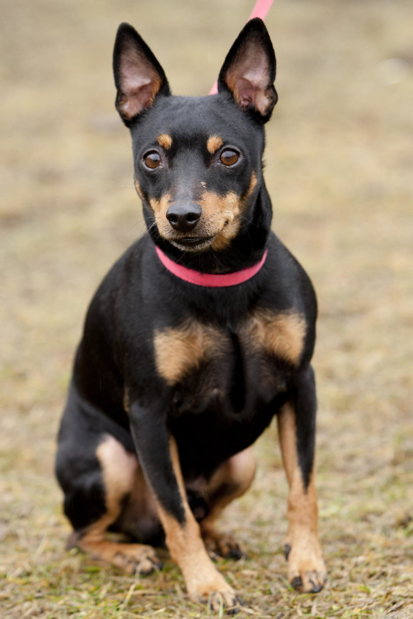 To 8 ras psów, które są najmądrzejsze! Ranking eksperta