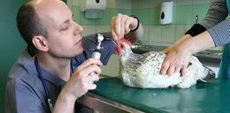 Zrobią dla kury protezę. Będzie pierwsza na świecie!