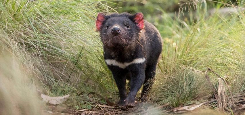 Po 3 tysiącach lat urodziły się pierwsze diabły tasmańskie