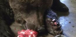Poznańskie niedźwiedzie zajadają się lodami!