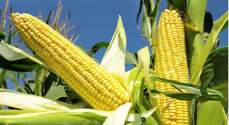 FG approves genetically modified maize for open cultivation. [punchng]