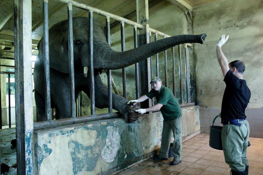 Tak dbają o słonie w zoo w Gdańsku