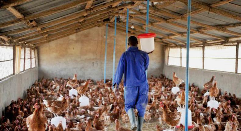 poultry in Ghana