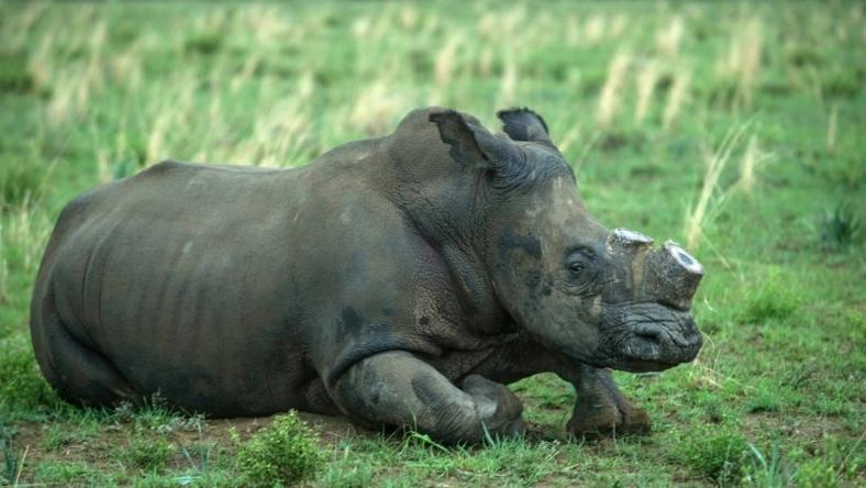 South Africa is home to around 20,000 rhinos, roughly 80 percent of the worldwide population.