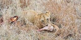 Straszna śmierć kłusownika. Najpierw stratował go słoń, potem przyszły lwy...