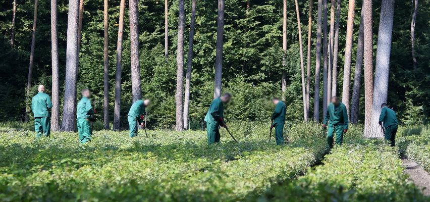 Więźniowie pójdą do pracy w lesie. Jest porozumienie z leśnikami