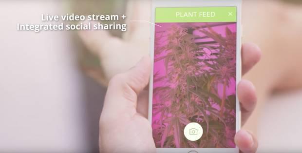 Kühlschrank Pink : Seedo ist ein kühlschrank zum cannabis anbau