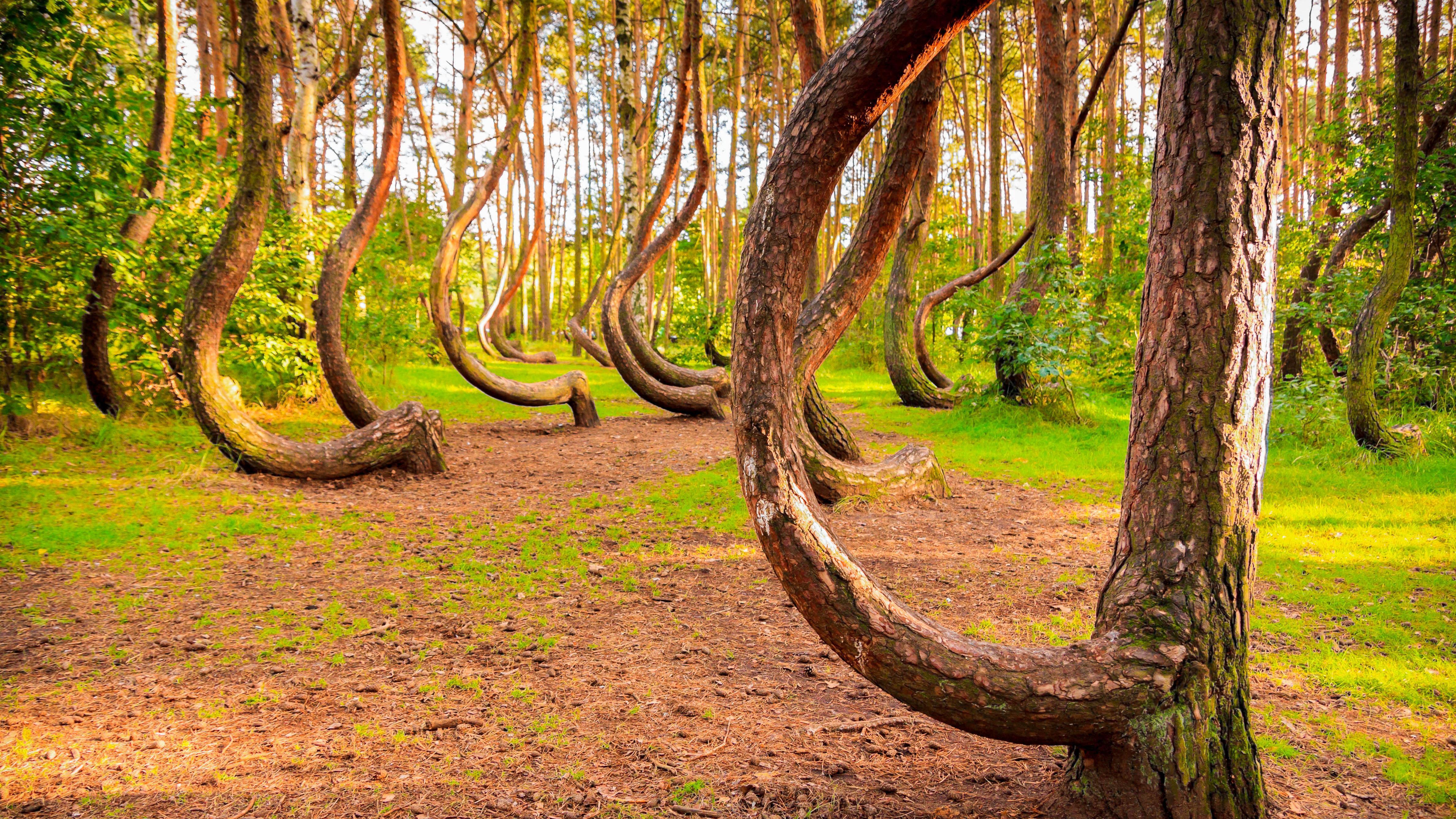 Krzywy Las koło Gryfina wyróżniony przez brytyjski dziennik - Podróże