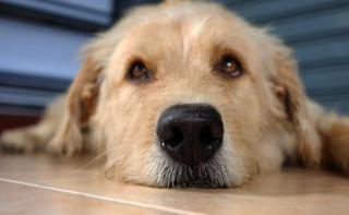 Gmina nie może wymagać, by pies był na smyczy i w kagańcu