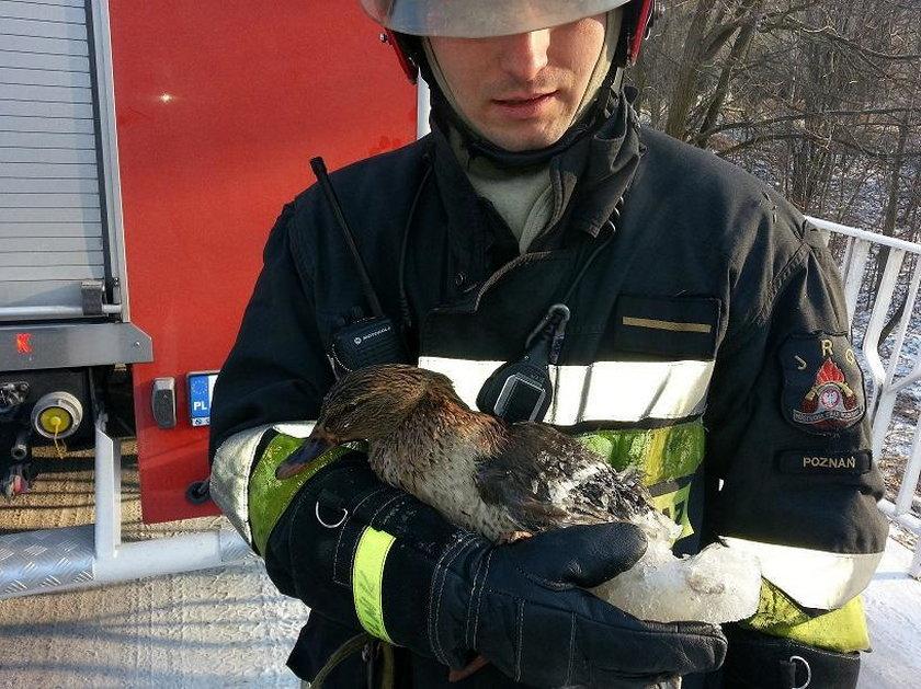 Strażacy uratowali kaczkę