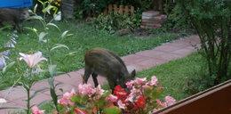 Dziki niszczą nasze ogrody