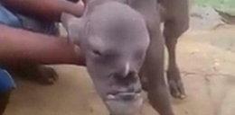Koza o twarzy człowieka przeraziła całą wioskę