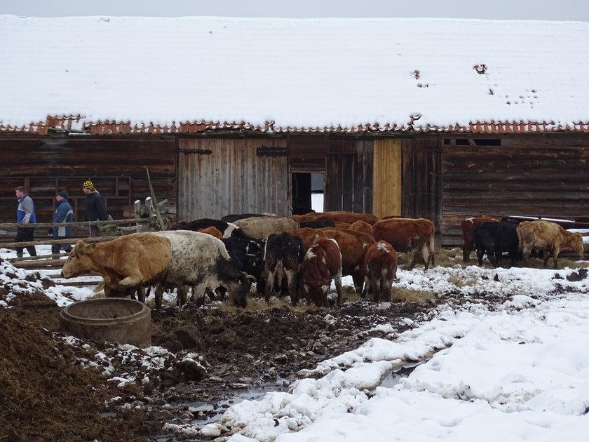 Rolnik zagłodził swoje krowy
