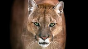 Puma uciekła z prywatnego zoo. Przez trzy dni grasowała na wolności