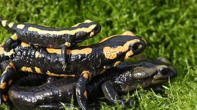 Salamandry plamiste w Bieszczadach rozpoczynają gody - piękne, ale lepiej ich nie dotykać