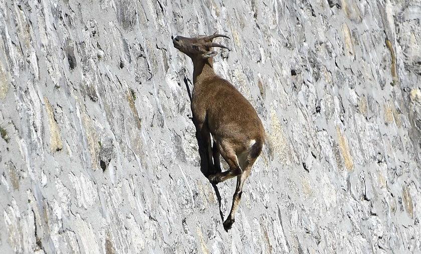Kozice lepsze niż alpiniści