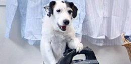 Oto najsłynniejszy pies internetu. WIDEO
