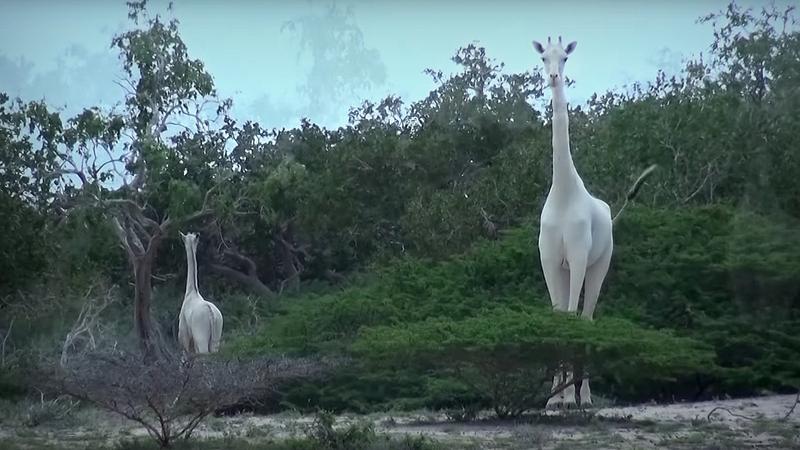 Białe żyrafy w Kenii