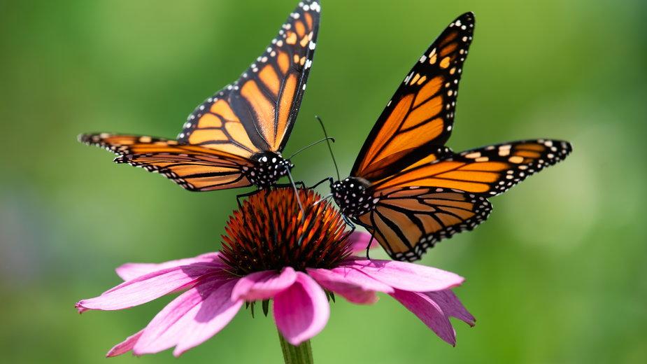 W Polsce występuję ponad 3 tysiące gatunków motyli - Dave/stock.adobe.com
