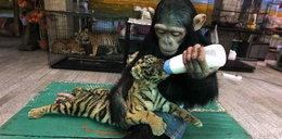 Ten szympans jest jak człowiek. Zobacz dlaczego